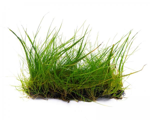 Zwergnadelsimse - Pflanzen Matte mit Saugnapf - Eleocharis parvula - 4x13 cm