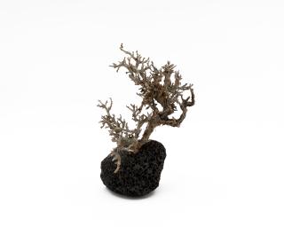 Crusta Baum auf Lavastein - Größe S