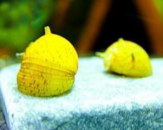 Gelbe Geweihschnecke - Clithon corona-