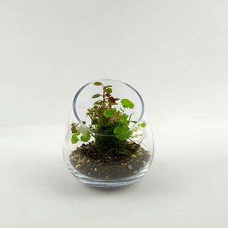 PlantMyTank - Wabi Kusa Set mit bepflanzem Moosball -