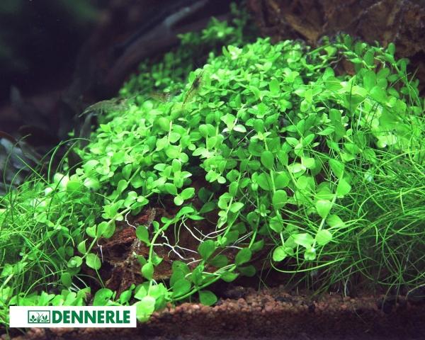 Montecarlo Perlkraut -Micranthemum tweediei - Dennerle Topf
