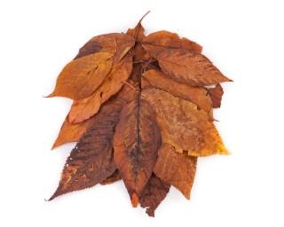 Wildkirschenblätter 20 Blätter