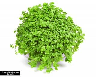 Zwergperlkraut - Hemianthus callitrichoides - Dennerle Topf
