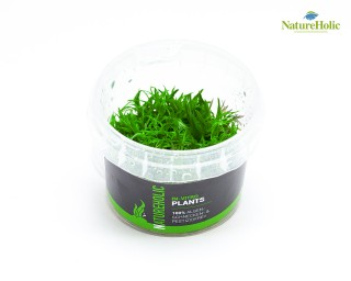 Pogostemon deccanensis - NatureHolic InVitro