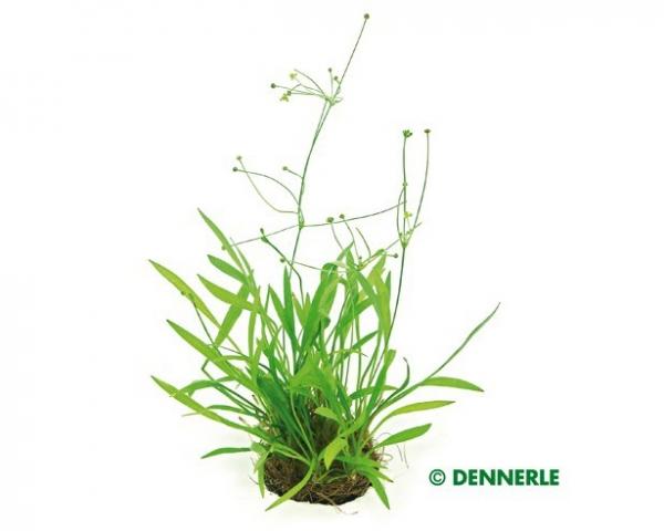 Grasartige Zwerg - Schwertpflanze, Echinodorus tenellus - Topf