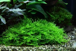 1-2-GROW! Spikymoos / Taxiphyllum sp. 'Spiky'