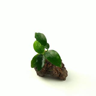 Vulkangestein 3-7 cm - Anubias barteri nana