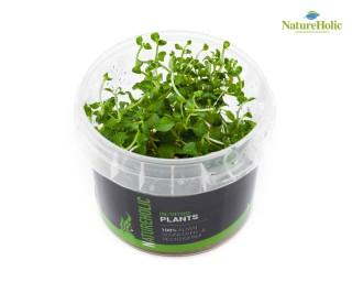 Rotala rotundifolia Vietnam H´ra - NatureHolic InVitro