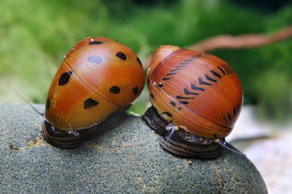 "Neritina turrita - ""Orange Track"" Rennschnecke"