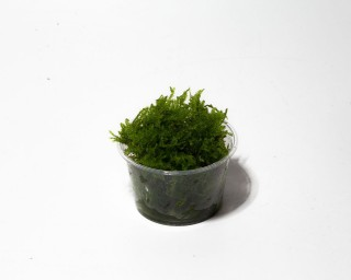 Garnelio - Christmas Moos - Vesicularia montagnei - Portion
