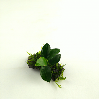 Cocoshelter Anubia mit Christmasmoos - Vesicularia montagnei
