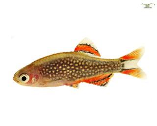 Perlhuhnbärbling - Celestichthys margaritatus (Minifisch)