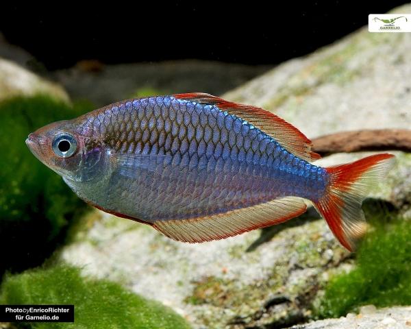Pracht Regenbogenfisch - Melanotaenia praecox - DNZ
