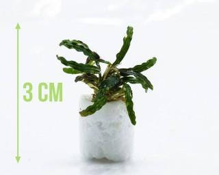 "Bucephalandra spec. ""Valis Needle"" - Rarität Nano Aufsitzerpflanze"
